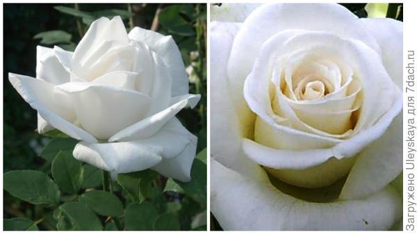 Роза садовая Mount Shasta в полуроспуске. Фото с сайта opt-hoz.ru. Полностью распустившийся цветок. Фото с сайта sadograd.ru.