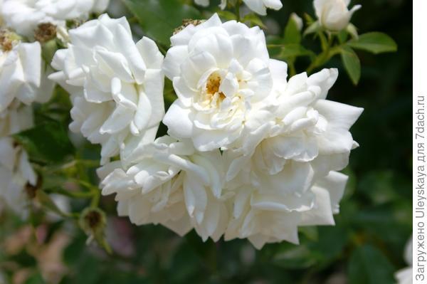 Роза садовая сорт Carte Blanche при отцветании, фото автора