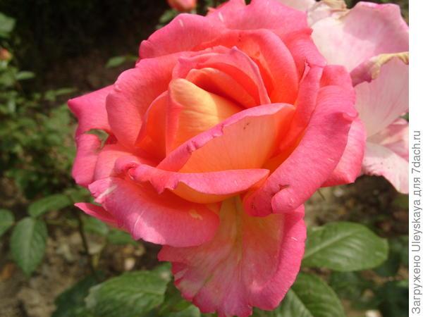 Роза садовая Гурзуф, фото автора