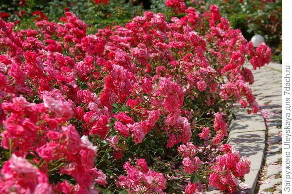 Обворожительная роза-флорибунда сорт Bella Rosa, фото автора