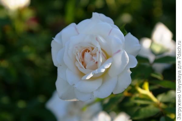 Роза садовая сорт Carte Blanche в октябре, фото автора