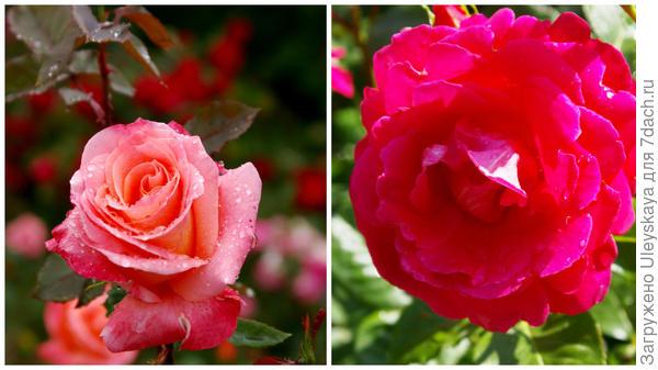 Роза садовая Лезгинка в полуроспуске и полностью распустившийся цветок, фото автора