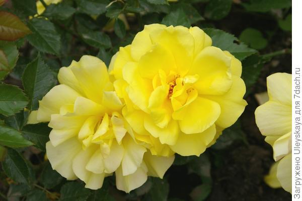 Роза садовая сорт Friesia, фото автора