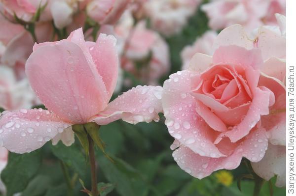 Роза садовая Профессор Виктор Иванов, фото автора