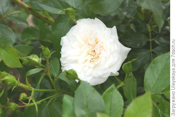 Роза садовая сорт Carte Blanche, фото автора