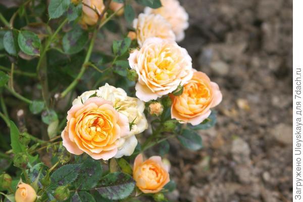 Роза садовая сорт Amber Queen, фото автора