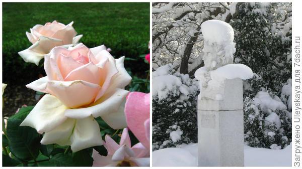 Роза садовая Марина Стевен и памятник Х.Х. Стевену в Никитском ботаническом саду зимой, фото автора