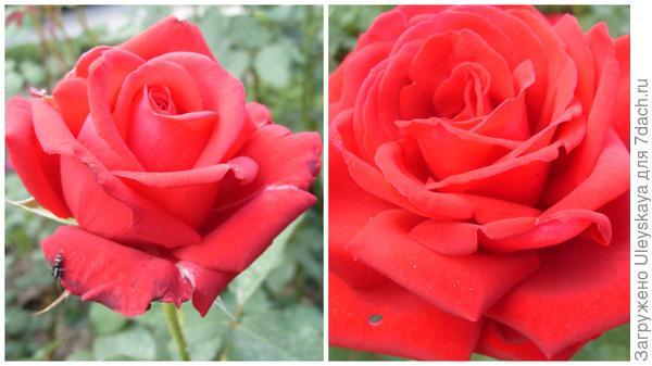 Роза садовая Samourai, фото автора