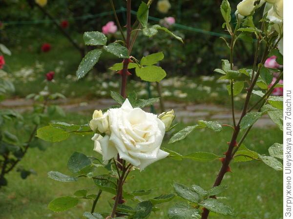 Роза садовая сорт Champagner