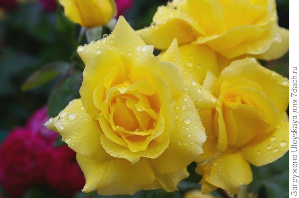 Шикарная роза-флорибунда сорт Anthonie Meilland, фото автора
