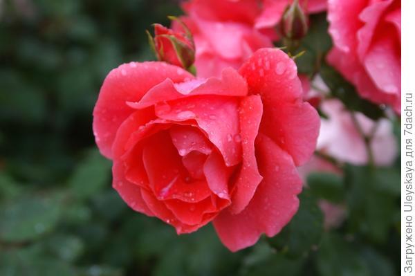 Роза садовая Майор Гагарин, фото автора