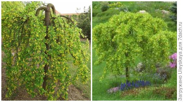 Карагана древовидная Pendula. Фото с сайта baumschule-newgarden.de. Она же в миксбордере. Фото с сайта ecbrownsnursery.biz