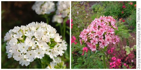 Лихнис халцедонский Alba. Фото с сайта plant-world-seeds.com. Лихнис халцедонский Rosea. Фото с сайта ru.pinterest.com