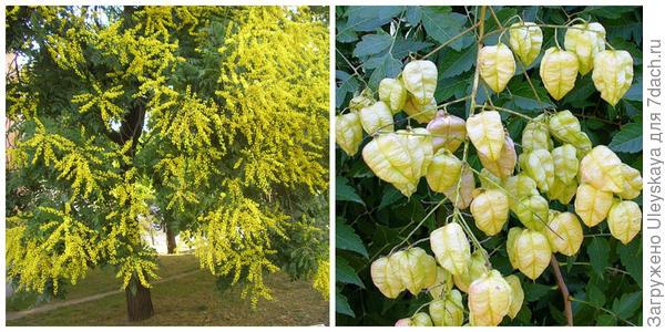 Кельрейтерия метельчатая в цветении. Фото сайта balkep.org. Её плоды. Фото с сайта plants.ces.ncsu.edu.