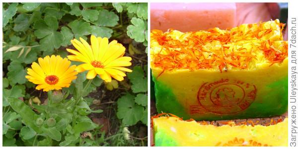 Календула лекарственная. Натуральное мыло с календулой, фото автора