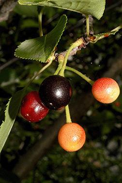 Плоды сакуры. Фото с сайта dendro.cnre.vt.edu
