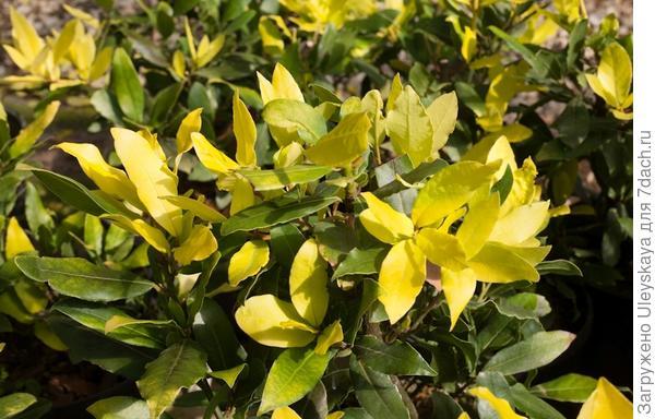Лавр благородный Aurea. Фото с сайта springmeadownursery.com