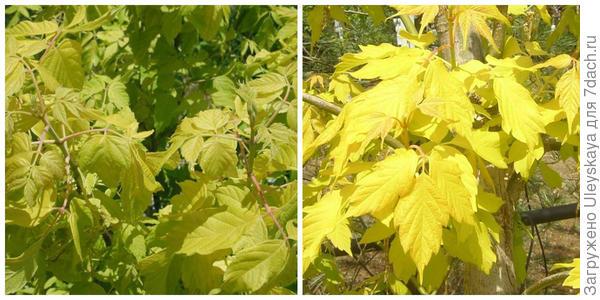 Клен ясенелистный Auratum. Фото с сайта learn2grow.com. Клен ясенелистный Kellys Gold. Фото с сайта leafland.co.nz.