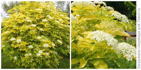 Бузина черная 'Aurea'. Фото с сайта plante.md. Побеги, соцветия крупным планом. Фото сайта hayefield.com