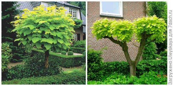 Катальпа бигнониевидная Aurea - солитер. Фото с сайта web03.bruns.de. Она в формировке. Фото с сайта stromovous.net