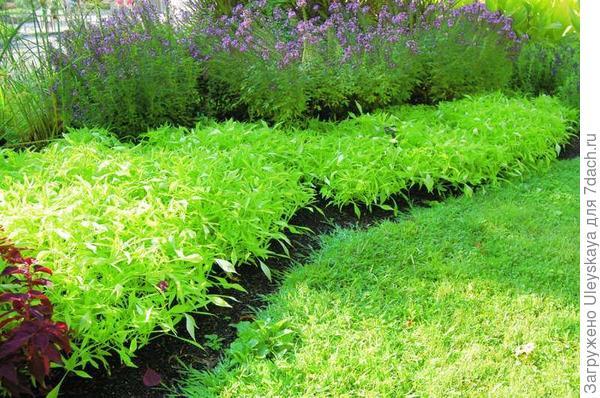 Фото с сайта plantplaces.com