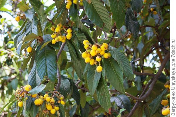 Плодоношение мушмулы японской в открытом грунте, Ялта