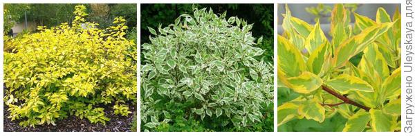 Кизил белый Aurea. Фото с сайта google.ru. Кизил белый Elegantissima. Фото с сайта plantsam.com. Кизил белый Gouchaultii. Фото с сайта ecospro.ru.