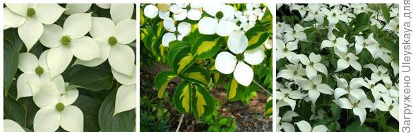 Кизил Коуза China Girl. Фото с сайта ornamental-trees.co.uk. Кизил Коуза Gold Star. Фото с сайта google.ru. Кизил Коуза Milky Way. Фото с сайта plants.canadale.com.