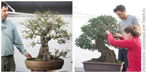 Филлирея широколистная в стиле бонсай, её формировка. Фото с сайта animabonsai.com