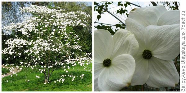 Кизил спорный Eddie s White Wonder, внешний вид. Фото с сайта ru.pinterest.com. Цветки крупным планом. Фото с сайта pepinieres-rouxel.fr.
