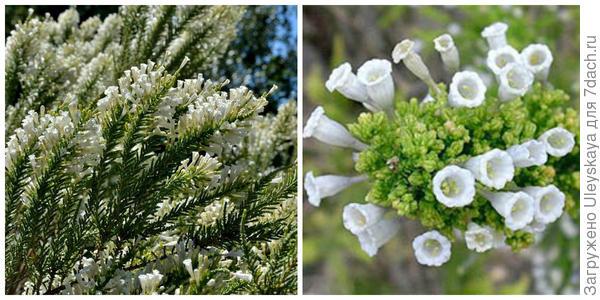 Фабиана черепитчатая. Фото с сайта panoramio.com. Её цветки крупным планом. Фото с сайта entheology.com