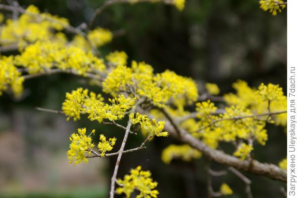 Цветет кизил мужской, фото автора