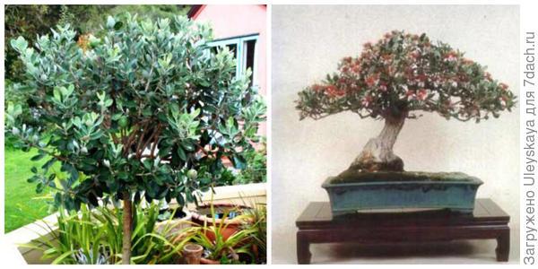 Фейхоа Селлова, штамбовое деревце. Фото с сайта gardenstar.ru. Она в культуре бонсай. Фото сайта farpost.ru