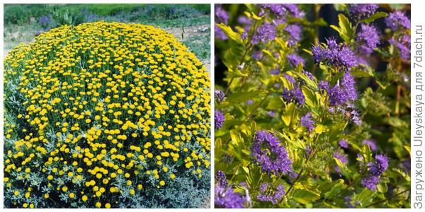 Сантолина кипарисовидная в цветении будет гармонична в цветнике теплой гаммы, фото автора. В нем, но позже реализует себя кариоптерис Sunshine Blue. Фото сайта c4.provenwinners.com