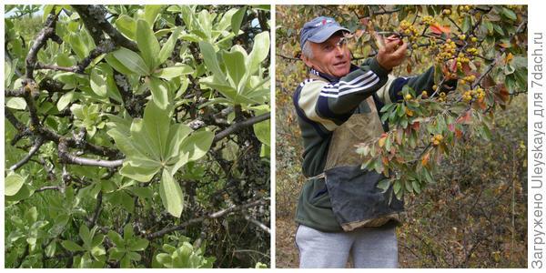 Листья груши лохолистной, фото автора. Сбор плодов, фото автора.