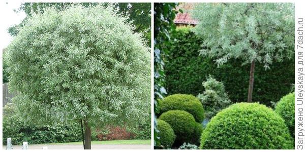 Груша иволистная, внешний вид. Фото с сайта findmeplants.co.uk. Груша иволистная в композиции. Фото с сайта s-media-cache-ak0.pinimg.com