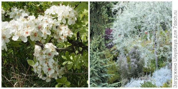 Цветет груша лохолистная на Мангупе, фото автора. Груша лохолистная в композиции. Фото с сайта eutopiagardens.org