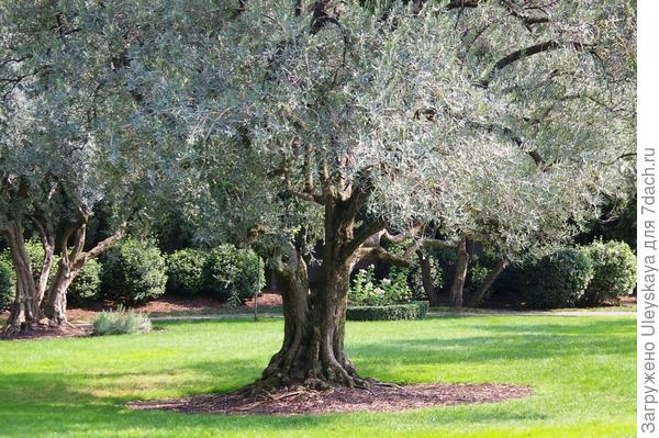 Маслина европейская-  серебристая красавица Южнобережья, фото автора