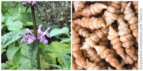 Чистец Зибольда. Фото с сайта naturalmedicinefacts.info. Его клубеньки. Фото с сайта gourmetgardening.co.uk