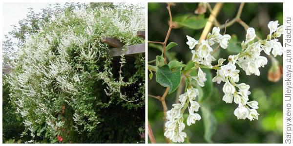 Горец Оберта, внешний вид. Фото с сайта google.ru. Цветки. Фото с сайта maltawildplants.com.