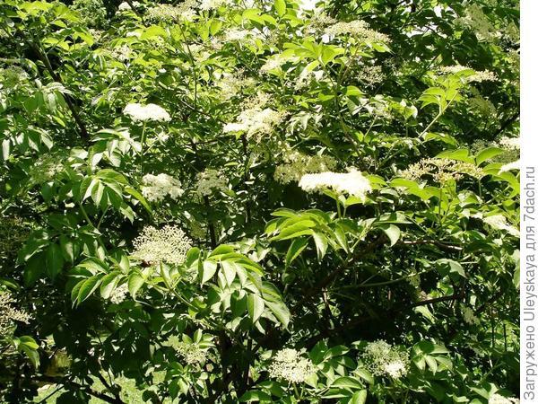 Живая изгородь из бузины, фрагмент. Фото с сайта thegreenfarmacygarden.com
