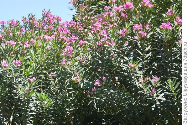 Живая изгородь из олеандра обыкновенного, фото автора