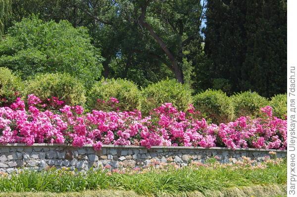 Низкая живая изгородь из почвопокровной розы Fair Play на переднем плане, фото автора