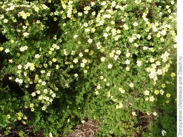Низкая живая изгородь из лапчатки кустарниковой, фото автора