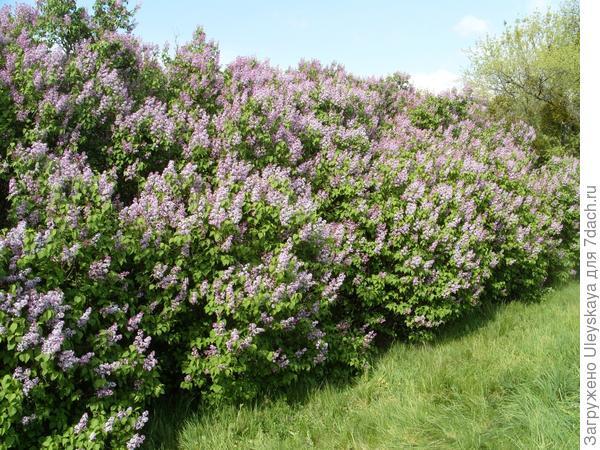 Красивоцветущие живые изгороди: бордюры