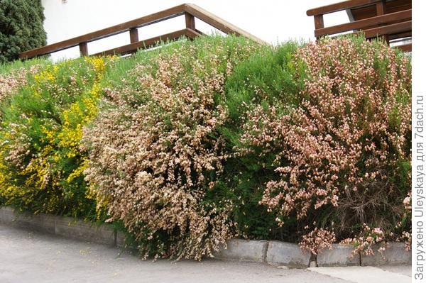 Фрагмент живой изгороди из ракитника венечного, фото автора