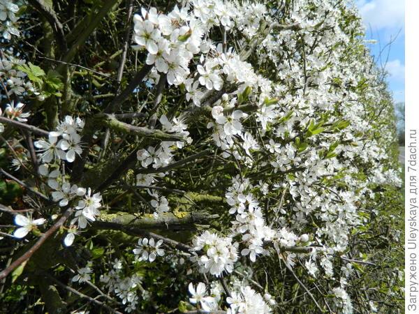 Терновая живая изгородь в цветении. Фото с сайта sowandso.com