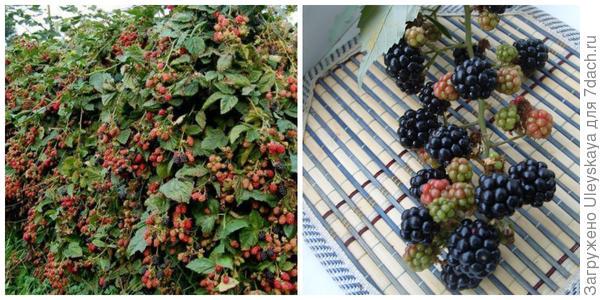 Живая изгородь из ежевики. Фото с сайта dom-sad911.ru. Плоды ежевики, фото автора