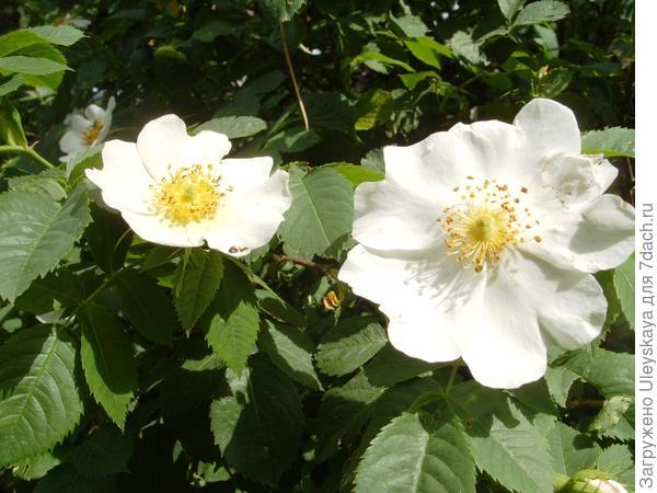 Цветет роза собачья, или шиповник, фото автора