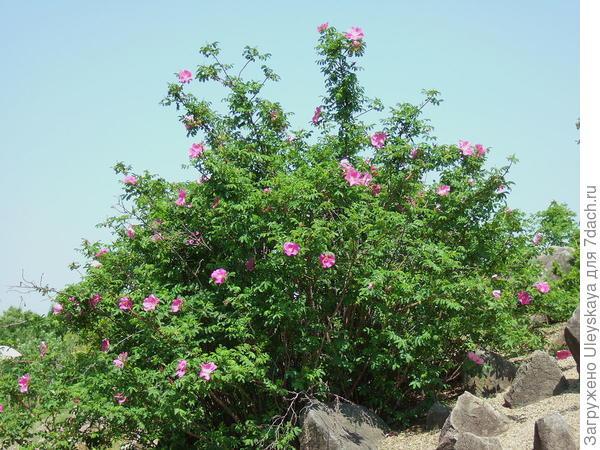 Роза даурская. Фото с сайта de.wikipedia.org